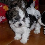 29bfe44f70a Fotografie č. 1 - Fotografie inzerátu Havanský psík